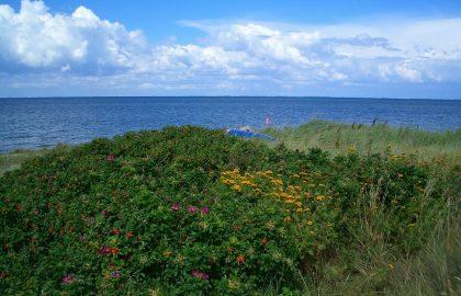 Tolle Blumen in den Düne vor der Ostsee, Dünenwanderung und Mitsegeln